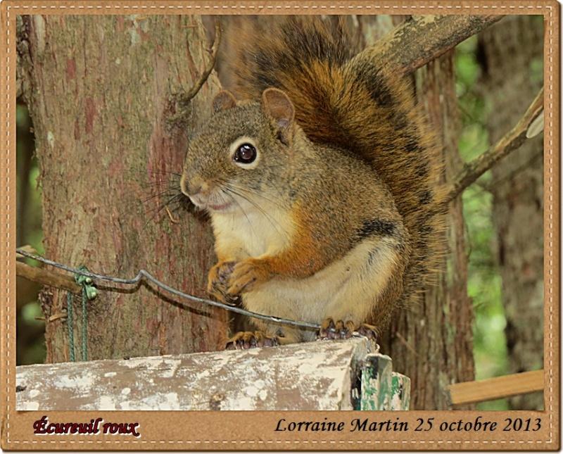 Écureuil roux du jour Canon Acureu26