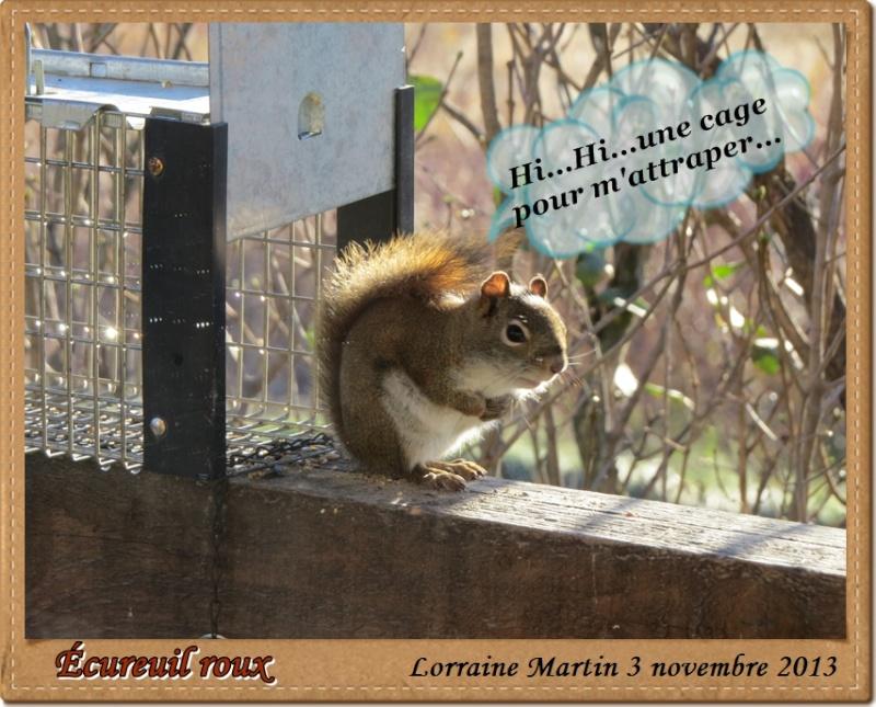Écureuil roux et une cage ... Acureu32