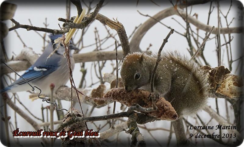 Jalousie (Geai bleu VS écureuil roux) Acureu41