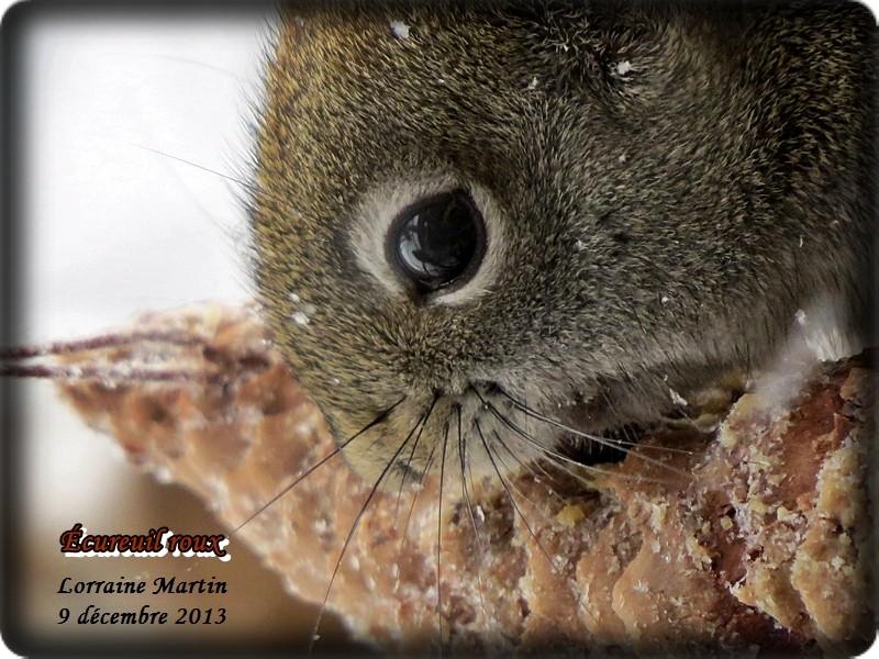 Jalousie (Geai bleu VS écureuil roux) Acureu42