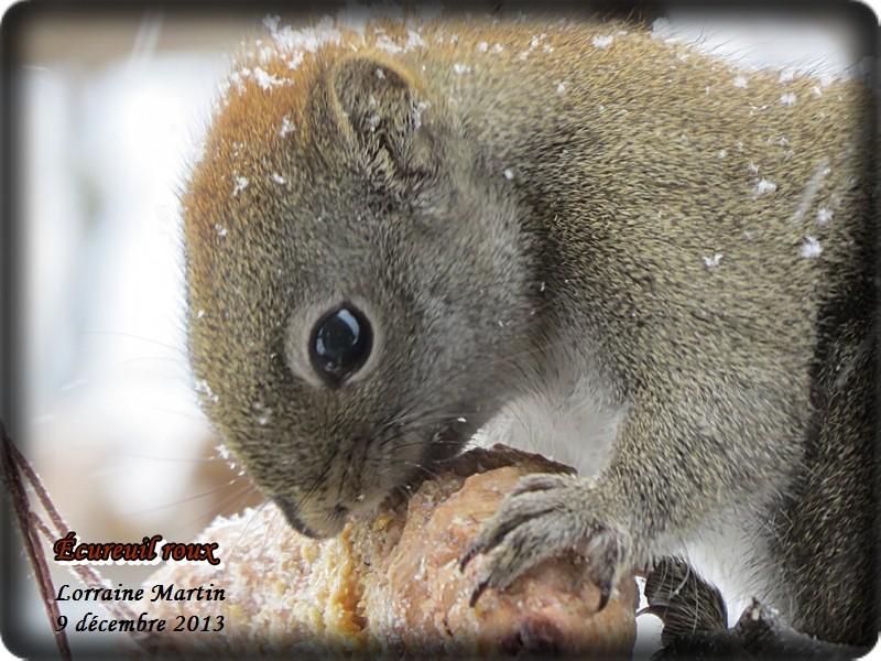 Jalousie (Geai bleu VS écureuil roux) Acureu43