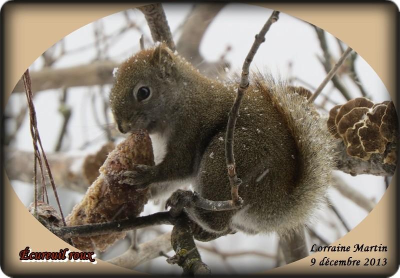 Jalousie (Geai bleu VS écureuil roux) Acureu44