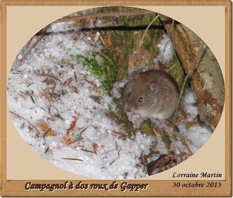 Campagnol à dos roux de Gapper Campag11