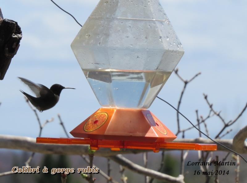 Colibri mâle arrivé 16 mai 2014 Colibr11