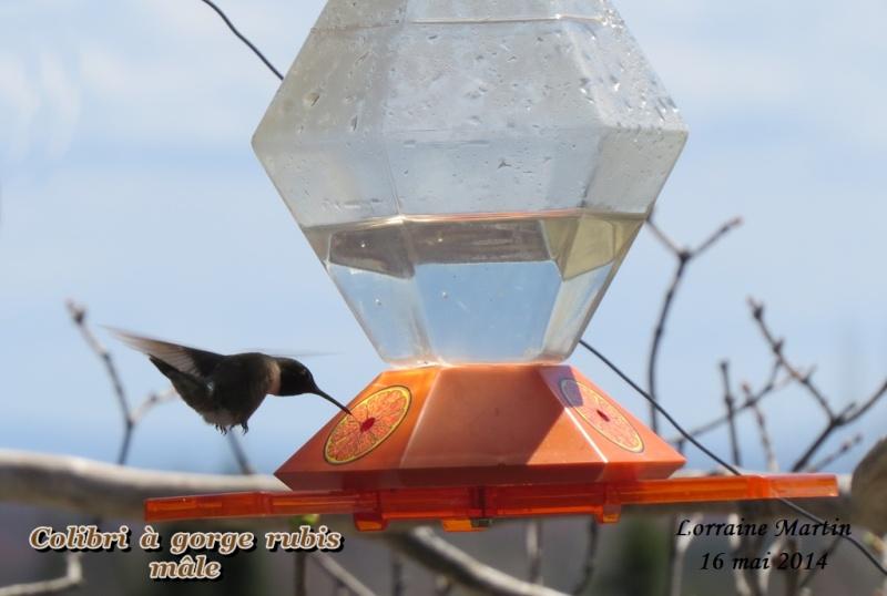 Colibri mâle arrivé 16 mai 2014 Colibr12