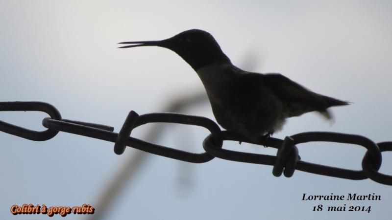 Colibri mâle  Colibr14