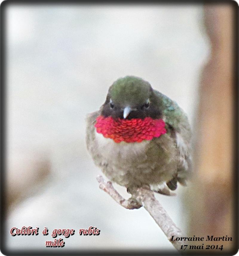 Colibri mâle  Colibr16