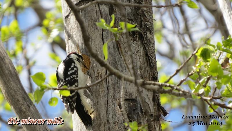 Pic mineur mâle fait son nid Mineur31