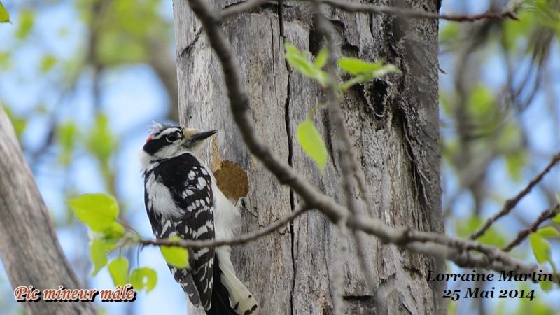 Pic mineur mâle fait son nid Mineur32