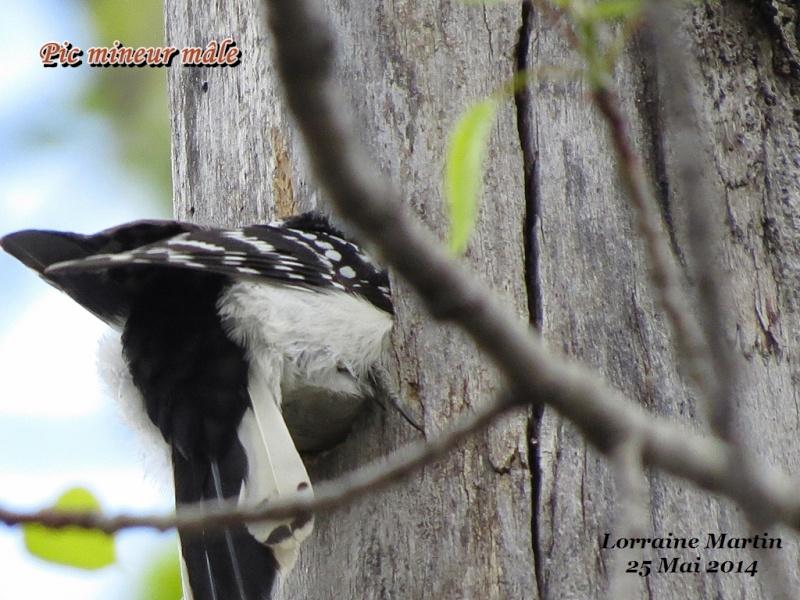Pic mineur mâle fait son nid Mineur33