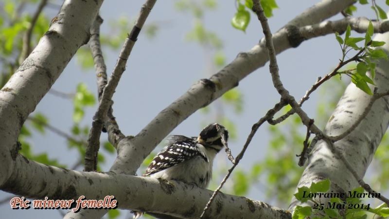 Pic mineur mâle fait son nid Mineur34