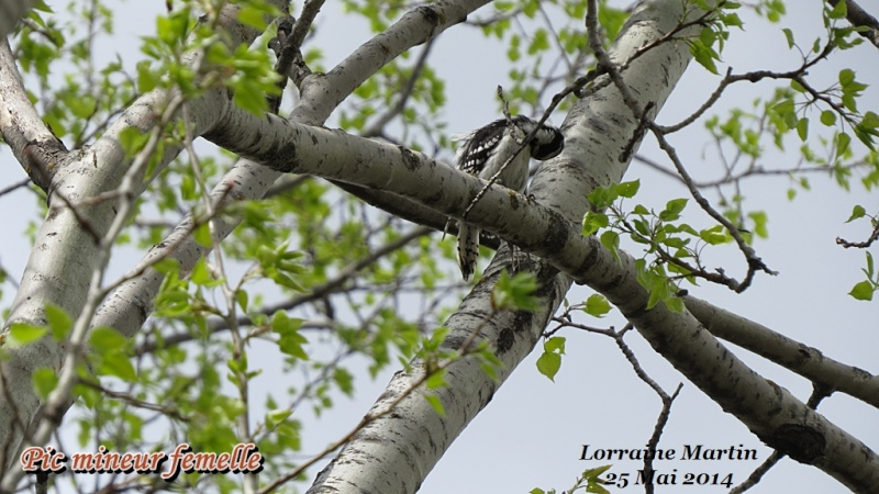 Pic mineur mâle fait son nid Mineur35