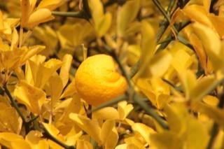 Citrus trifoliata (= Poncirus trifoliata) 01010
