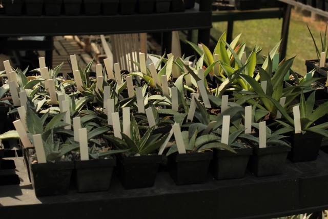 Cactus et succulentes - une galerie 01711