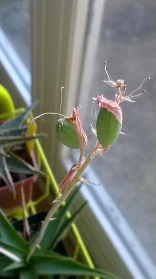 pollinisation manuelle d'Aloe Wp_20118