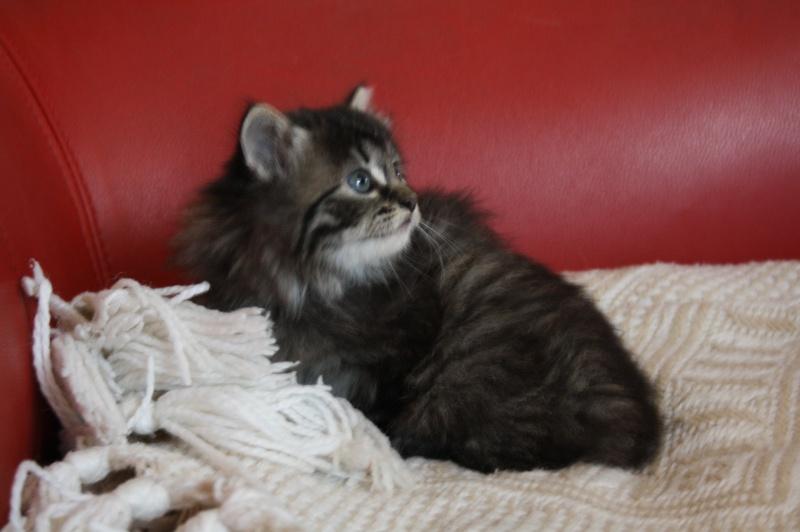 Ivan, mâle type européen angora tabby né 1er septembre 2013 Img_8411