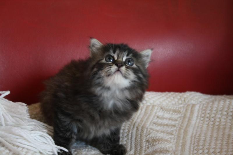 Ivan, mâle type européen angora tabby né 1er septembre 2013 Img_8412