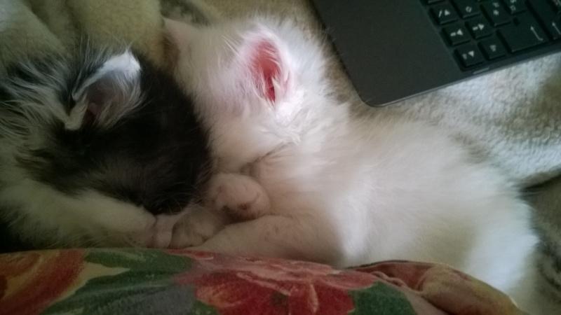 Joy, femelle noire et blanche, née le 1er avril 2014 Wp_20158