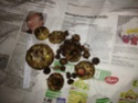 Sauromatum Venosum - Arum Cornu (ou bien comment avoir des nausées...) Arum10