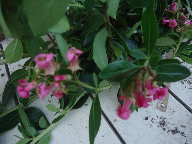 son nom s v p pour faire des boutures : Escallonia Macrantha Rosea 00226