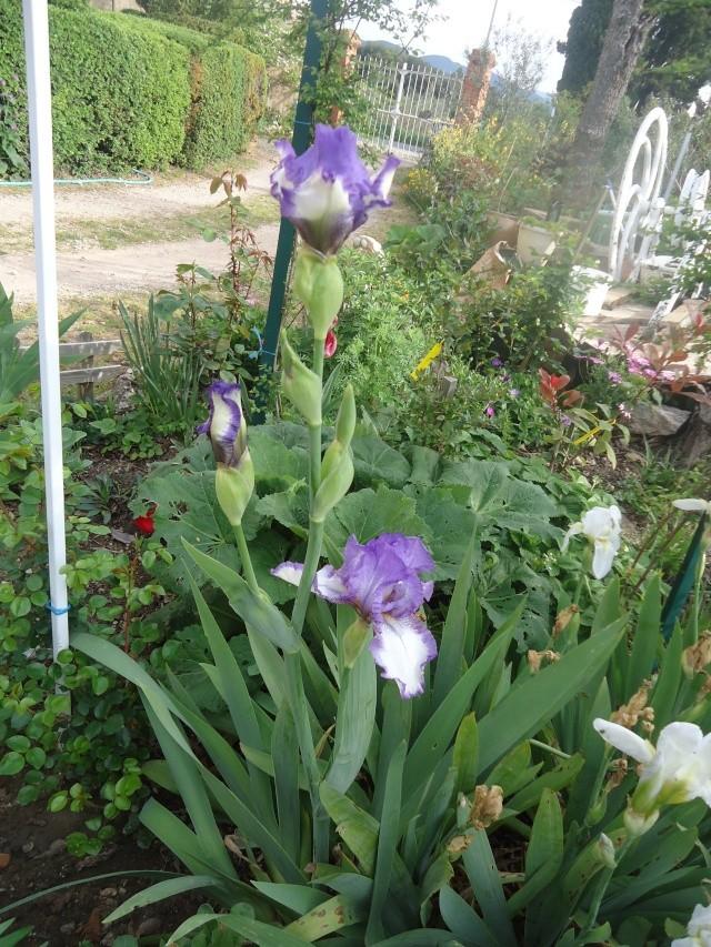Iris : floraison 2014 - Page 2 00419