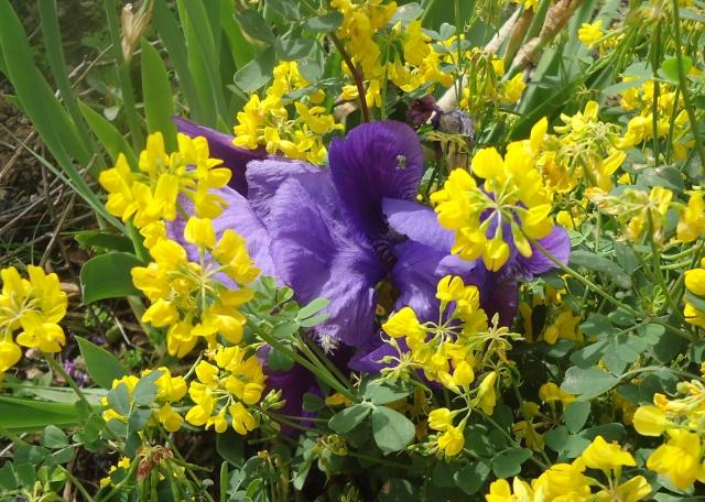 Iris : floraison 2014 - Page 2 00623