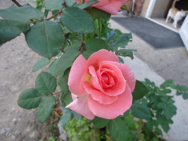 Roses de nos jardins 01110
