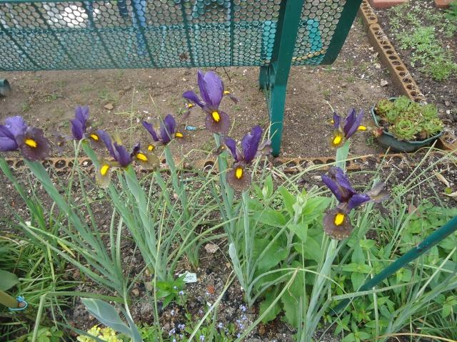 Iris : floraison 2014 - Page 3 01327