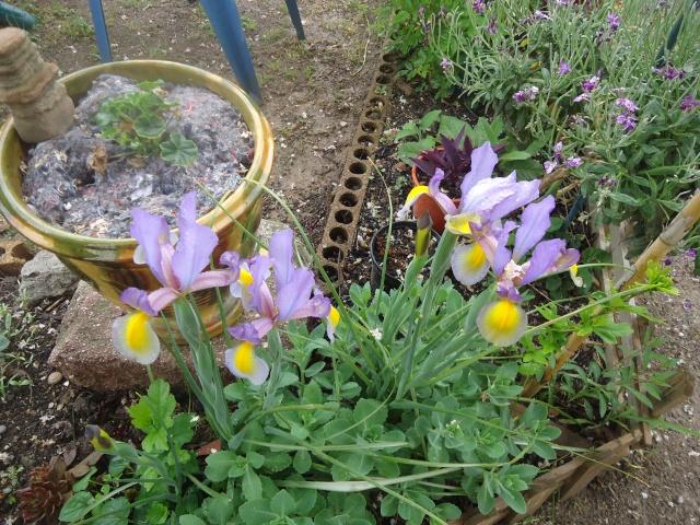 Iris : floraison 2014 - Page 3 01423