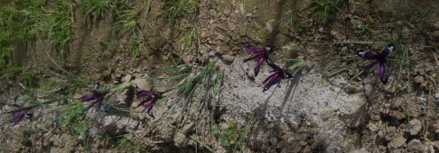 Iris reticulata - Page 4 01717