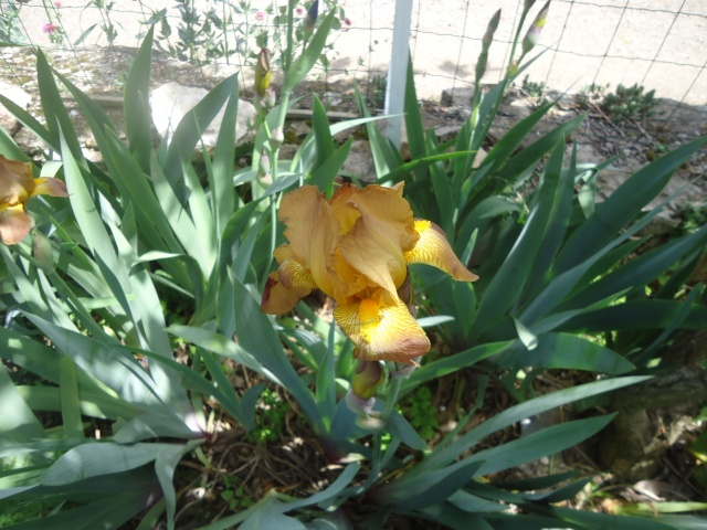 Iris : floraison 2014 - Page 5 02021
