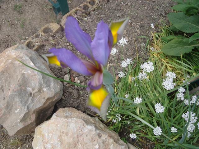 Iris : floraison 2014 - Page 2 02217