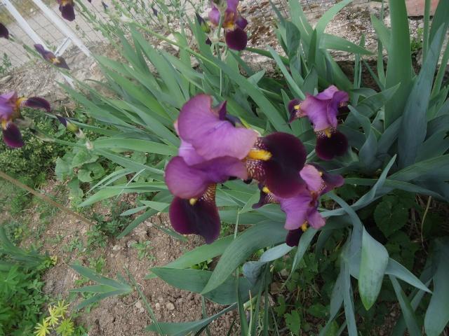 Iris : floraison 2014 - Page 2 02614