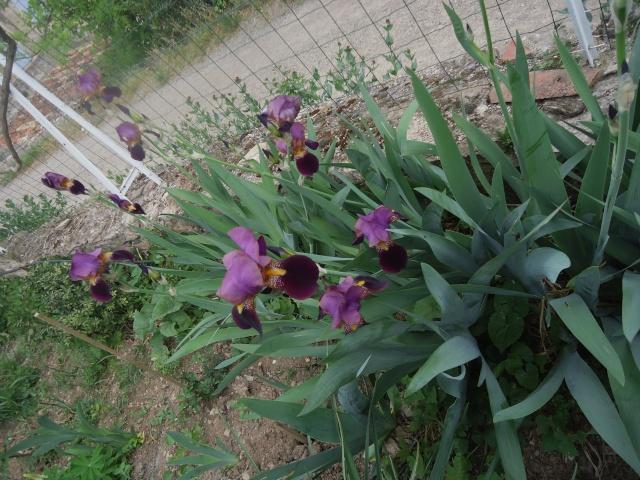 Iris : floraison 2014 - Page 2 02719