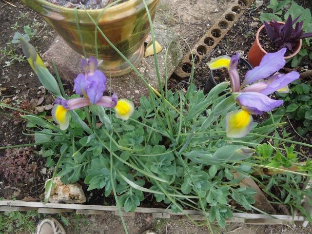 Iris : floraison 2014 - Page 2 03120