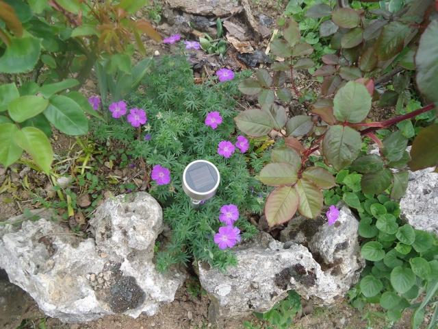 pour les amoureux des géraniums vivaces - Page 2 03615