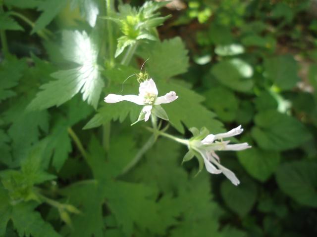 Geranium vivace  03618