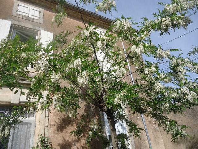 Robinier le faux acacia - Page 2 03718