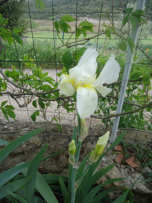 Iris : floraison 2014 - Page 2 04116