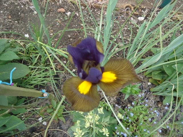 Iris : floraison 2014 - Page 2 04216