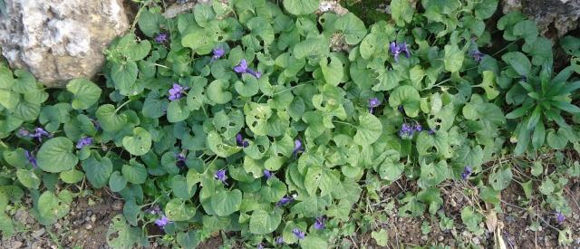 Les violettes - Page 12 08410