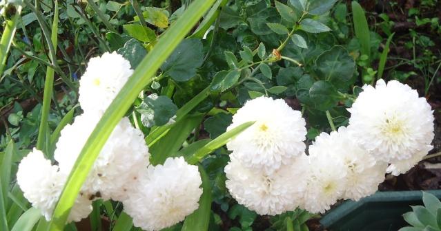 Chrysanthèmes  - Page 5 28810