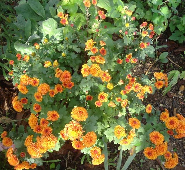 Chrysanthèmes  - Page 5 29210