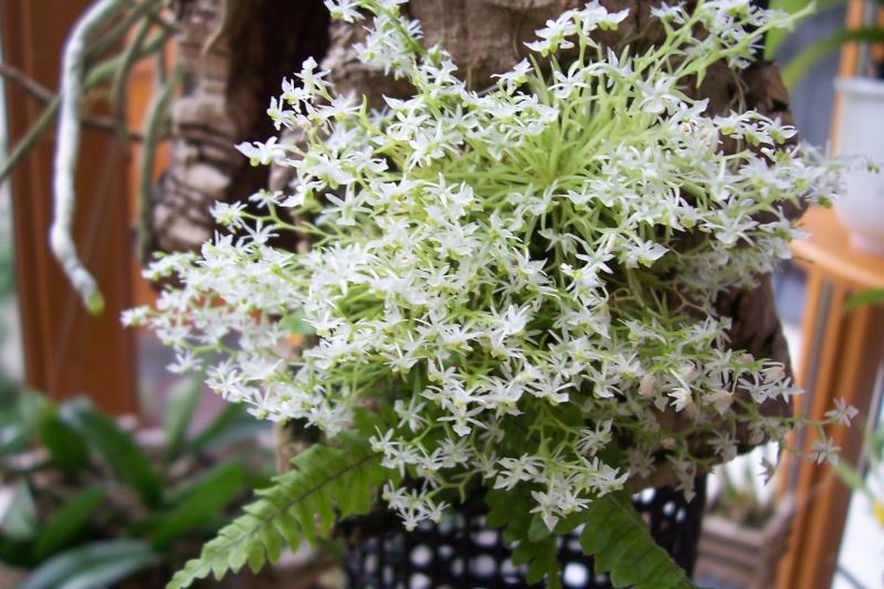 Die Gattung Phymatidium und Phymatidium falcifolium und delicatulum im Speziellen Phymat11