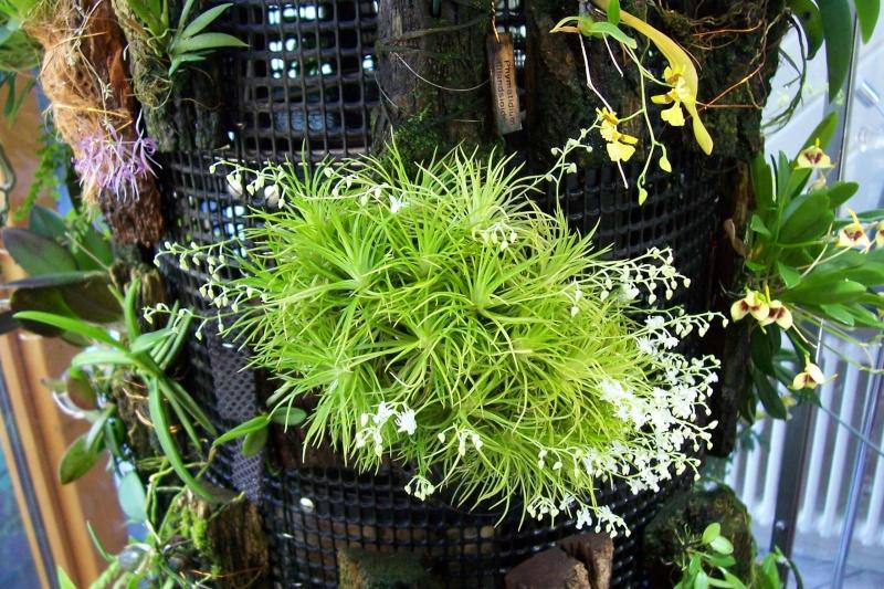 Die Gattung Phymatidium und Phymatidium falcifolium und delicatulum im Speziellen Phymat12