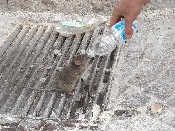 Belles images d'altruisme Rat_ph10