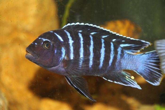 Ma Fish 44745410