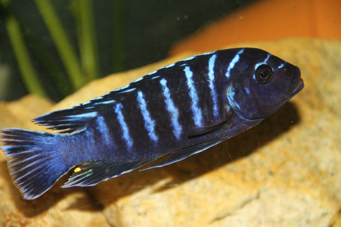 Ma Fish 50262710