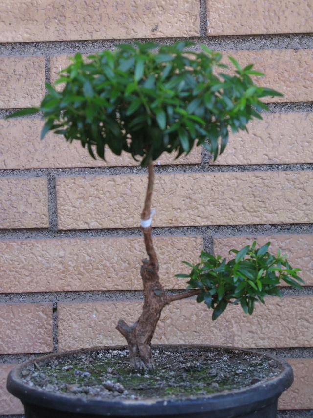 da mirto da vivaio a futuro bonsai - Pagina 2 Img_3110