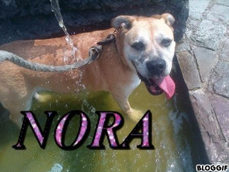 NORA - x labrador 13 ans - - Asso Vadrouille(59) 15437010